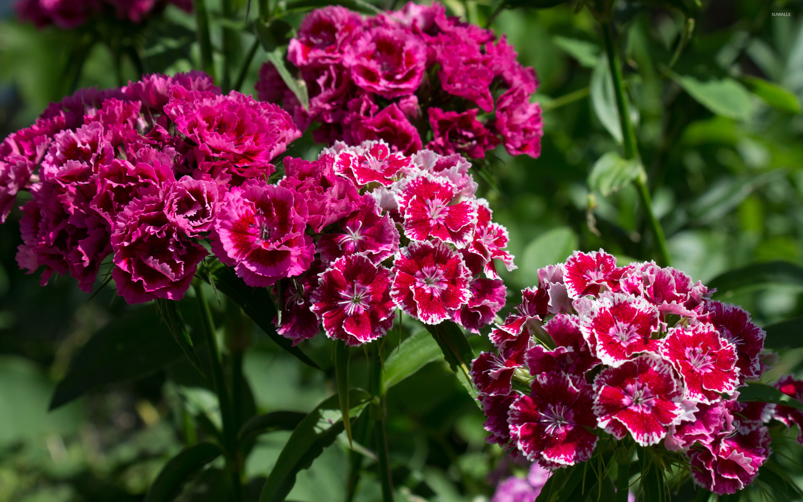 Sweet William wallpaper Flower wallpapers