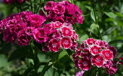 Sweet William wallpaper