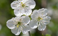 Three white cherry blossoms wallpaper 2880x1800 jpg