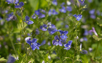 Thyme-leaved Speedwell field wallpaper