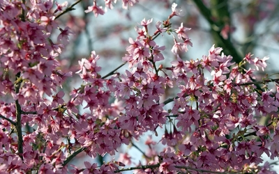Tree branches with pink blossoms wallpaper