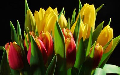 Tulip bouquet wallpaper