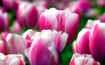 Tulips [5] wallpaper