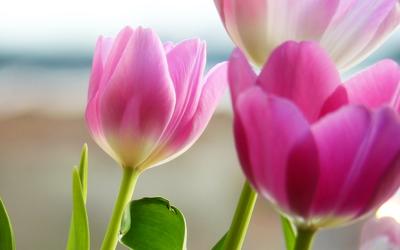 Tulips [2] wallpaper