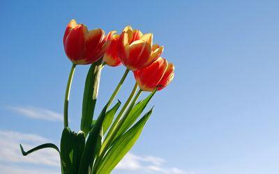 Tulips [27] wallpaper