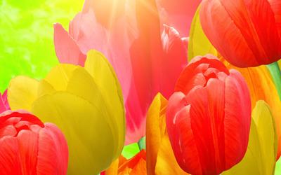 Tulips [12] wallpaper