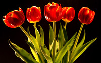 Tulips [17] wallpaper 1920x1200 jpg