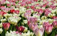 Tulips [31] wallpaper 1920x1200 jpg