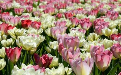 Tulips [31] wallpaper