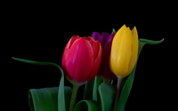 Tulips [24] wallpaper 2560x1600 jpg
