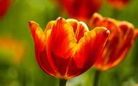 Tulips [19] wallpaper 1920x1200 jpg