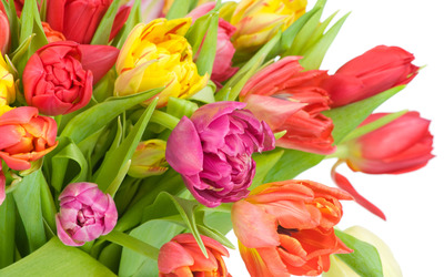 Tulips [3] wallpaper