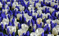 Tulips and grape hyacinth wallpaper 2560x1600 jpg