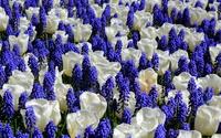 Tulips and grape hyacinth wallpaper 2560x1600 jpg