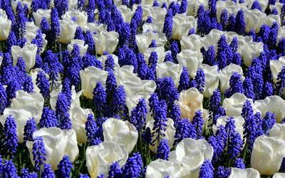 Tulips and grape hyacinth Wallpaper