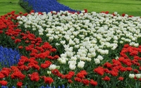 Tulips and grape hyacinth in a garden wallpaper 1920x1200 jpg