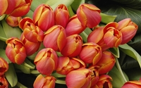 Tulips with red petals and golden edges wallpaper 1920x1200 jpg