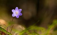 Violet flower wallpaper 1920x1200 jpg