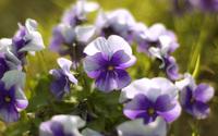 Violets wallpaper 1920x1200 jpg