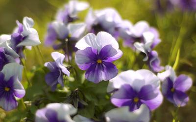 Violets wallpaper