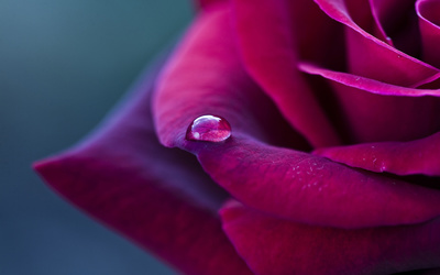 Water drop on a purple rose wallpaper