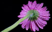 Water drops on a purple gerbera wallpaper 1920x1200 jpg
