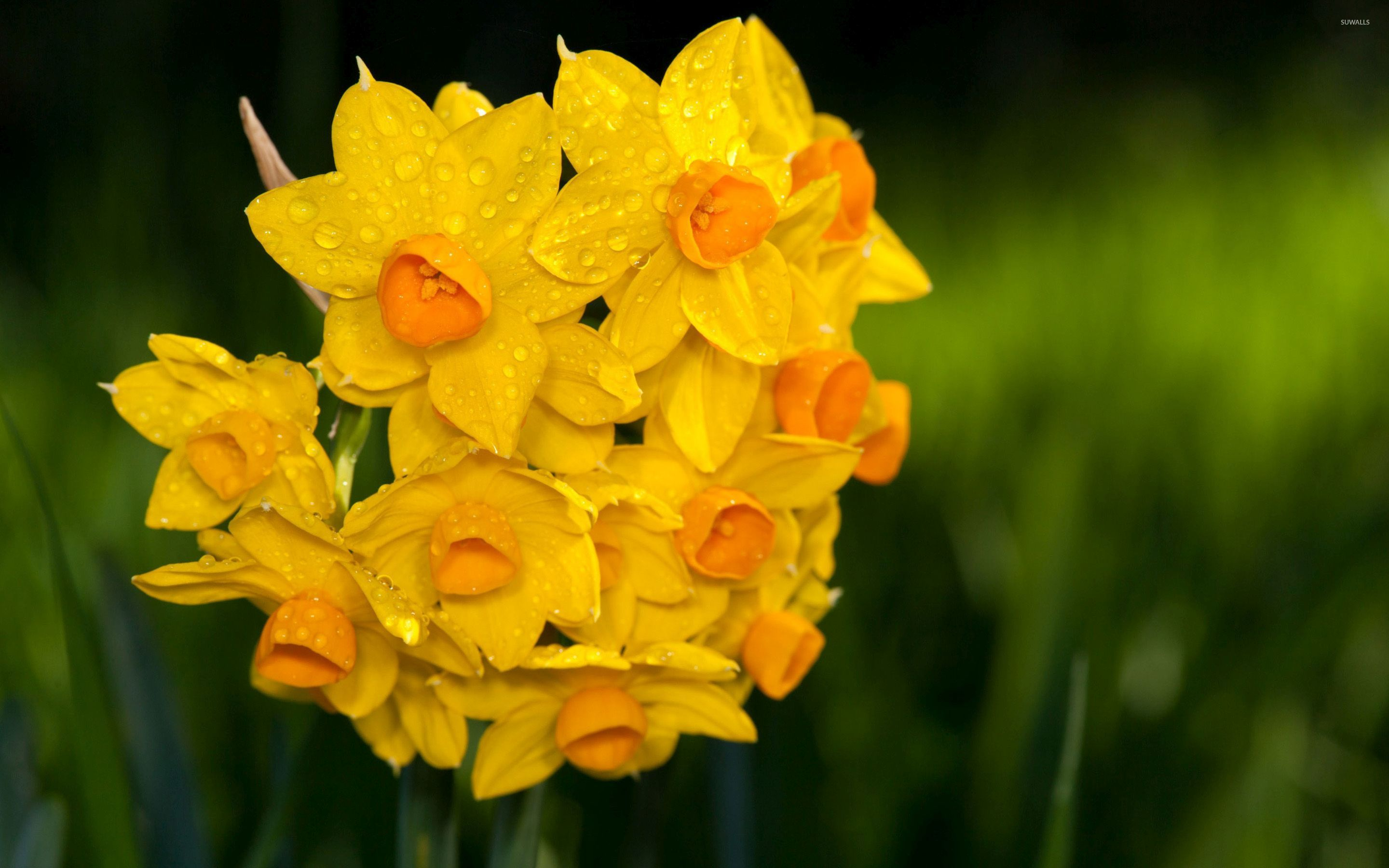 water drops on daffodils wallpaper - flower wallpapers - #48008