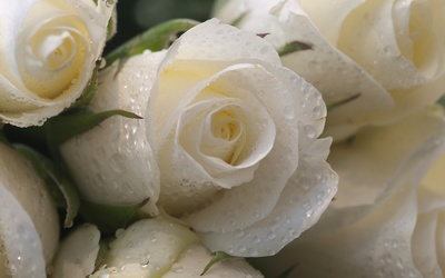 Water drops protecting the white roses wallpaper