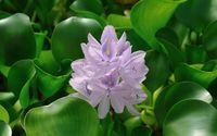 Water Hyacinth wallpaper 2560x1600 jpg