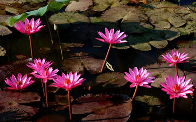 Water Lilies [3] wallpaper
