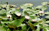 Water lilies [9] wallpaper 2560x1600 jpg