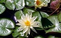 Water lilies [10] wallpaper 1920x1200 jpg
