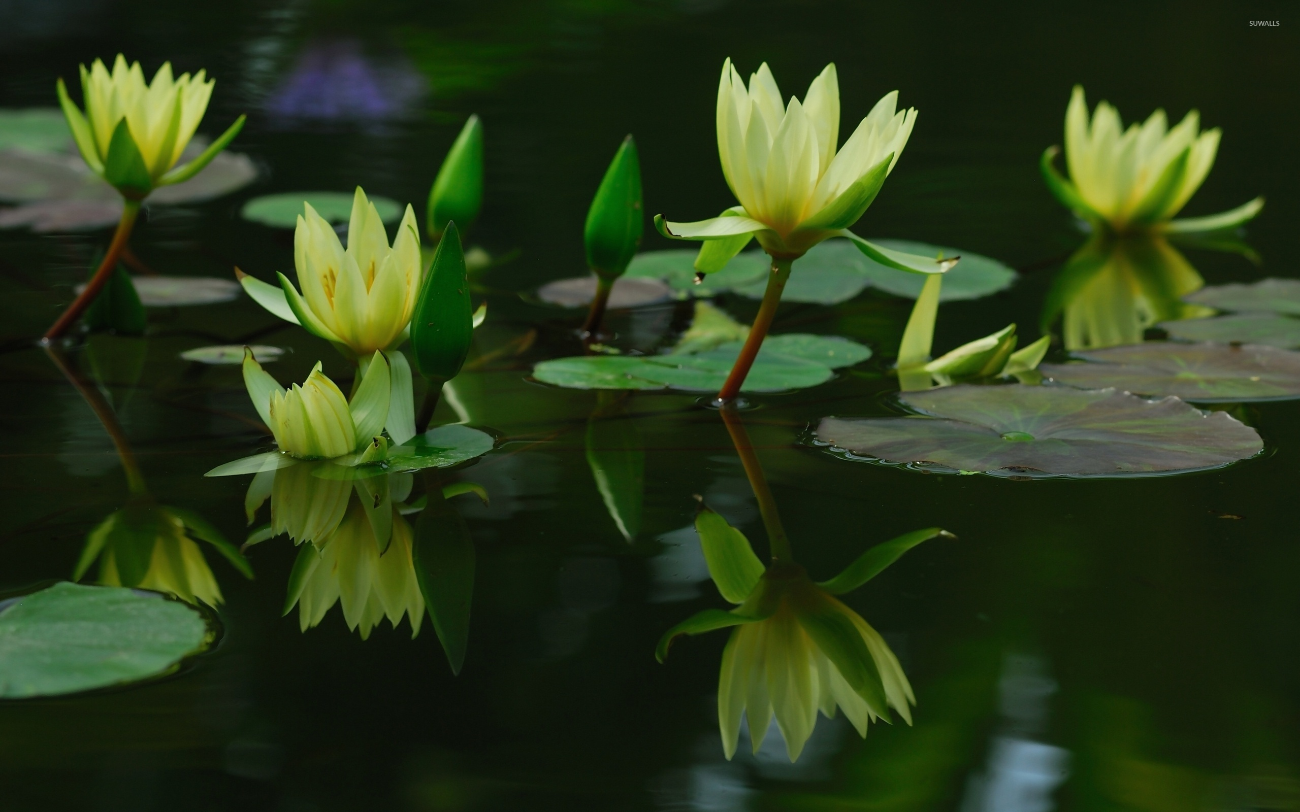 water lilies 8 wallpaper flower wallpapers 40316