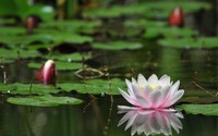 Water Lilies wallpaper 1920x1080 jpg