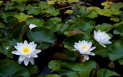 Water Lilies [5] wallpaper