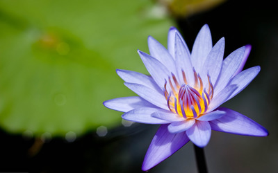 Water lily [5] wallpaper
