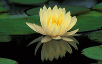 Water Lily [3] wallpaper 1920x1200 jpg