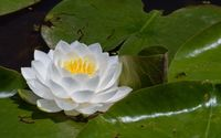 Water lily [14] wallpaper 2560x1600 jpg