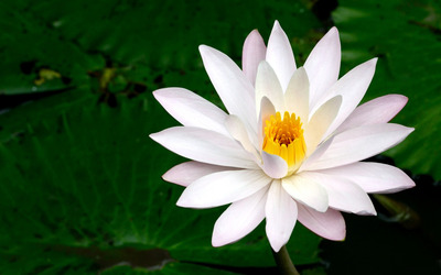 Water Lily [13] Wallpaper