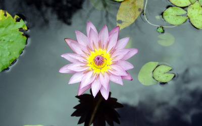 Water lily [19] wallpaper