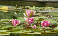 Water lily [15] wallpaper 2560x1600 jpg