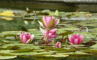 Water lily [15] wallpaper 2560x1600 jpg