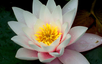 Water lily [18] wallpaper 1920x1080 jpg