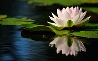 Water lily [12] wallpaper 2560x1600 jpg