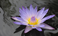 Water lily [16] wallpaper 2560x1600 jpg