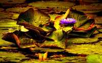 Water lily [17] wallpaper 1920x1200 jpg