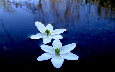 Water Lily [4] wallpaper