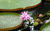 Water Lily [8] wallpaper 1920x1200 jpg