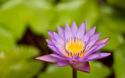 Water Lily [11] wallpaper
