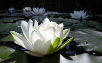 Water Lily [2] wallpaper 1920x1200 jpg
